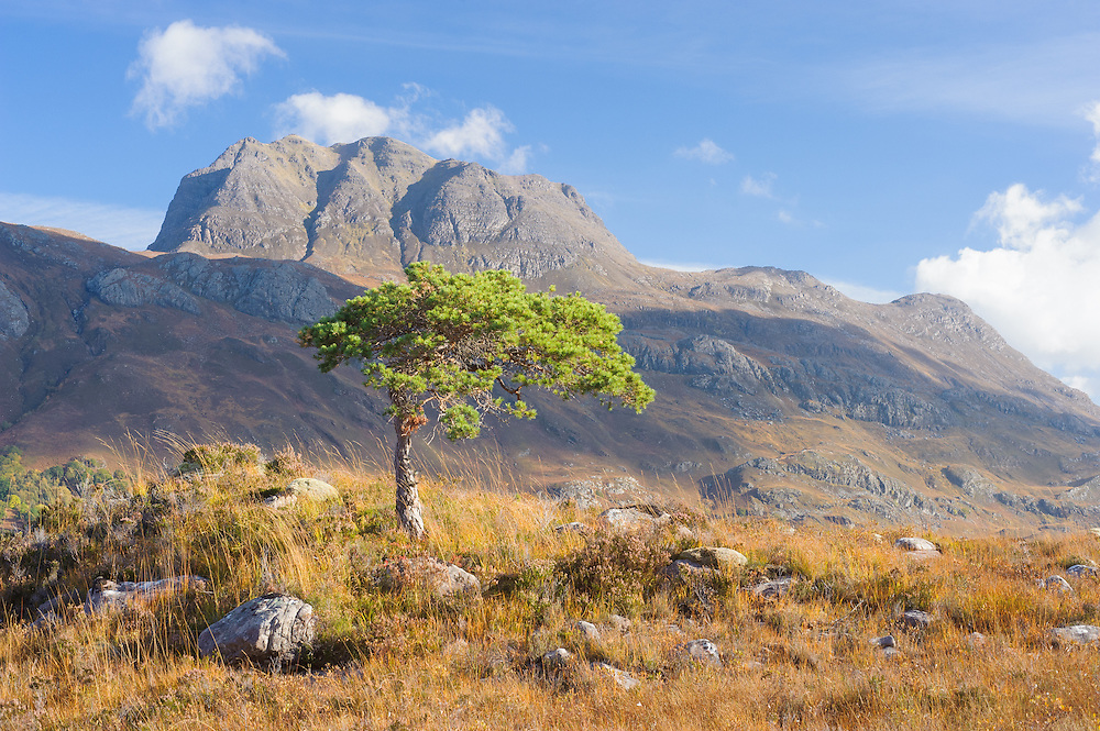 Scots pine, Torridon, Scotland