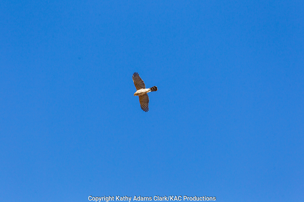 Cooper's hawk, Accipiter cooperii, soaring, flying, Big Bend National Park, Chihuahuan Desert, west Texas