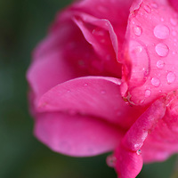 PINK ROSE AND DEW