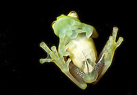 Glass frog from below
