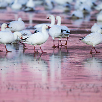 USA, New Mexico, Bosque del Apache National Wildlife Refuge, Snow Geese (Chenhyperborea hyperborea) walking on frozen surface of lake before dawn on winter evening
