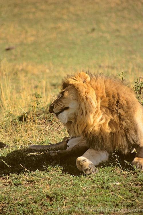 Africa, Kenya, Maasai Mara. Lion twist.