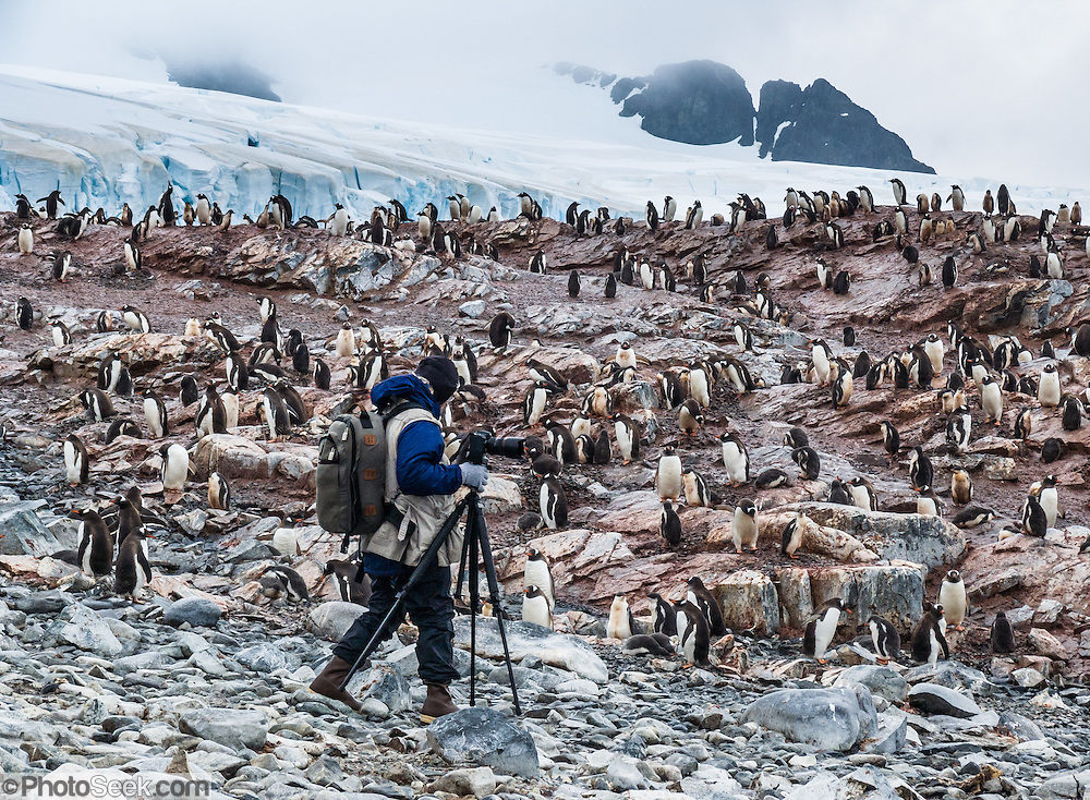 "A photographer with tripod explores a summer colony of Gentoo Penguins (Pygoscelis papua) on Cuverville Island, Antarctica. The adult Gentoo Penguin has a bright orange-red bill and a wide white stripe extending across the top of its head. Chicks have grey backs with white fronts. Of all penguins, Gentoos have the most prominent tail, which sweeps from side to side as they waddle on land, hence the scientific name Pygoscelis, ""rump-tailed."" As the the third largest species of penguin, adult Gentoos reach 51 to 90 cm (20-36 in) high. They are the fastest underwater swimming penguin, reaching speeds of 36 km per hour. The rocky Cuverville Island is in Errera Channel off the west coast of Graham Land, the north portion of the Antarctic Peninsula. The island was discovered by the Belgian Antarctic Expedition (1897-1899) under Adrien de Gerlache, who named it for J.M.A. Cavelier de Cuverville (1834-1912), a vice admiral of the French Navy. Cuverville Island or Île de Cavelier de Cuverville is located at 64 degrees 41 minutes South Latitude and 62 degrees 38 minutes West Longitude."