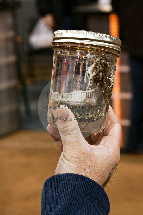 A spectator looks at a western diamondback rattlesnake head in a jar during the 51st Annual Sweetwater Texas Rattlesnake Round-Up March 14, 2009 in Sweetwater, Texas. During the three-day event approximately 240,000 pounds of rattlesnake will be collected, milked and served to support charity.
