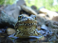 Cascades Frog<br />
