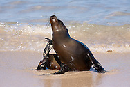 Galapagos Sea Lion (Zalophus californianus wollebaeki or Zalophus wollebaeki) <br /> ECUADOR: Galapagos Islands<br /> Santa Fe Island<br /> 19-Aug-2010<br /> J.C. Abbott &amp; K.K. Bauer