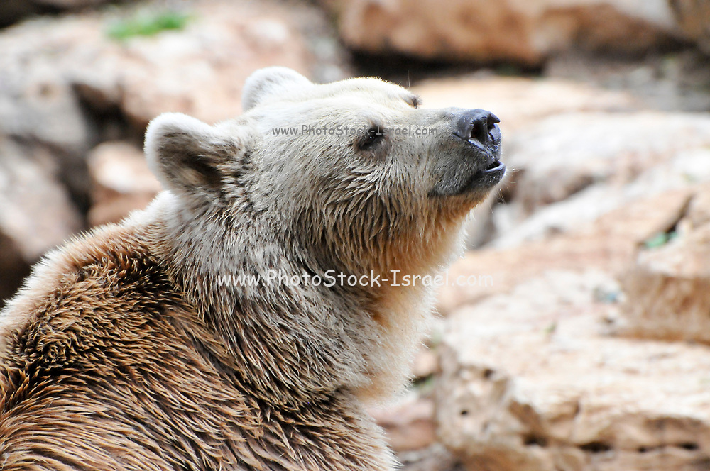 Portrait of a Syrian brown bear (Ursus arctos syriacus)