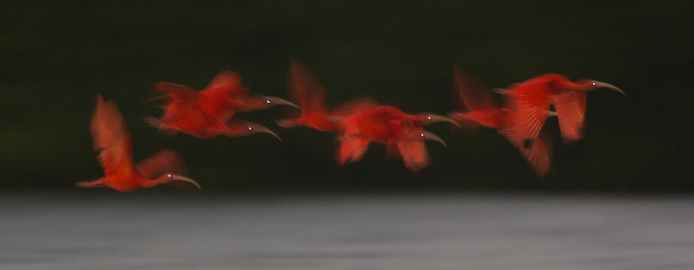 Scarlet Ibises in flight to their roosting sites on small mangrove islands in the Caroni Swamp mangrove forest.