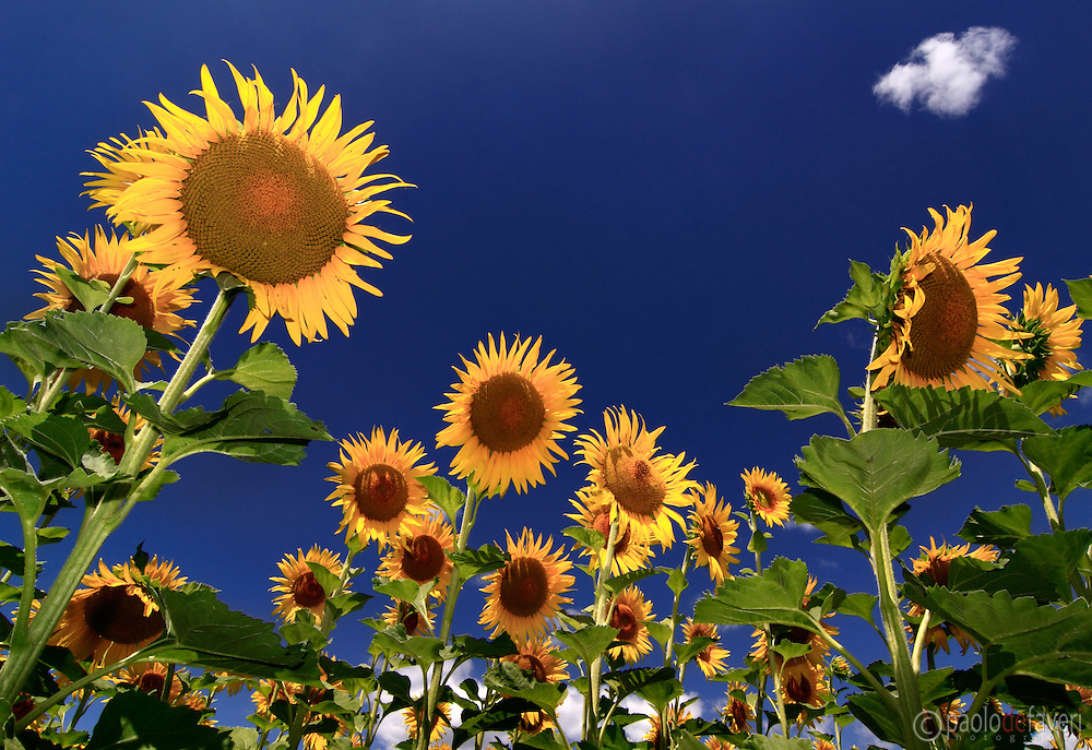 A view from the inside of a sunflower field near Vallon Pont d'Arc in Ardeche, southern France. I took this picture at noon on a sunny day at the beginning of July.