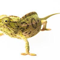 Carpet chameleon, Furcifer lateralis, from Ranomafana
