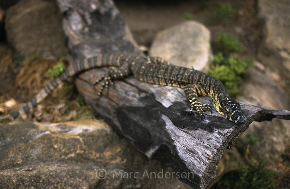 Lace Monitor, Varanus varius, sitting on a rock. Also known as a Goanna.