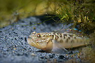 Clown Goby<br />
