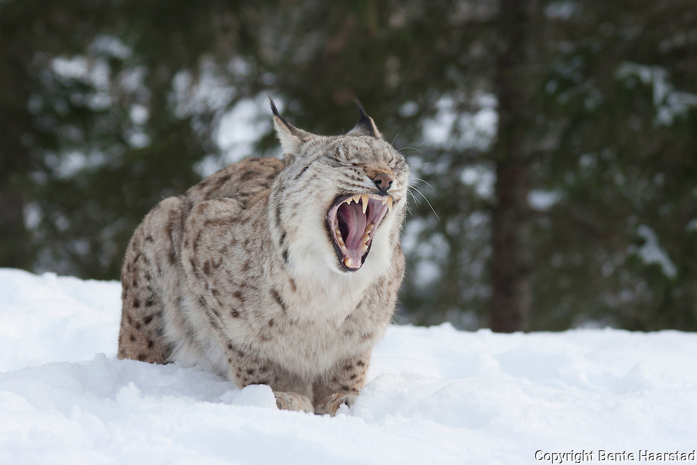 A wild cat, an eurasian lynx (Lynx lynx) at a nature park in Namsskogan, Norway.