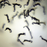 Northern or Lined Seahorse babies, Hippocampus erectus (c) range : western Atlantic, Nova Scotia to Rio de Janeiro, Brazil ( reproduction aquarist fish tank )&amp;#xA;&copy; KIKE CALVO - V&amp;W<br />