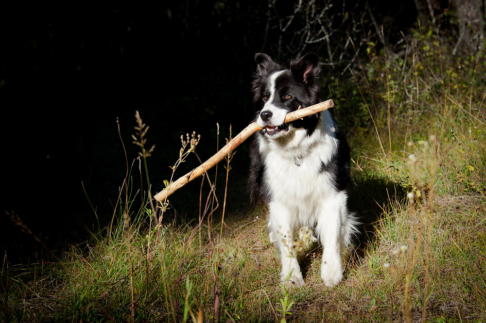 Karelian bear dog border collie mix - photo#14