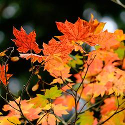 Fall color at PLU, Wednesday, Oct. 19, 2016. (Photo: John Froschauer/PLU)
