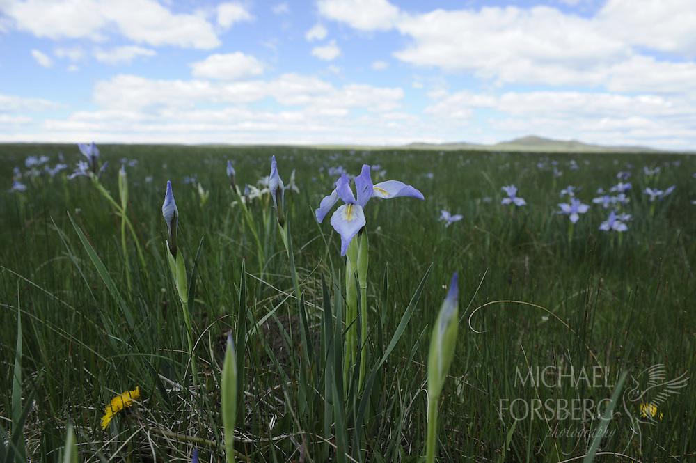 High Plains, shortgrass prairie region - ..Blue flag(?) iris bloom in wet meadow on shortgrass prairie...