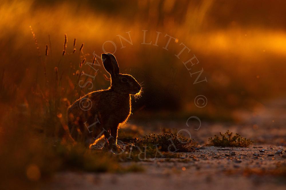 European Hare (Lepus europaeus) adult on farmland at dusk, Norfolk, UK.