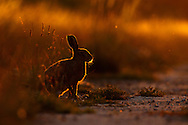 European Hare (Lepus europaeus) adult on farmland at dusk, Norfolk, UK.