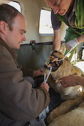 Lioness on airplane for relocation to Malawi (Panthera leo) Anaesthetized and being intubated for flight<br /> Pilansberg Game Reserve<br /> North West Province<br /> SOUTH AFRICA
