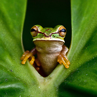 A Masked Treefrog, Smilisca phaeota, peers from behind a leaf in the Chocó.