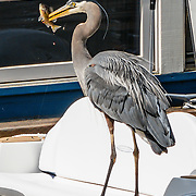 A great blue heron (in the Ardeidae family of birds) on a boat spears a fish along the Cheshiahud Lake Union Loop in Seattle, Washington, USA.