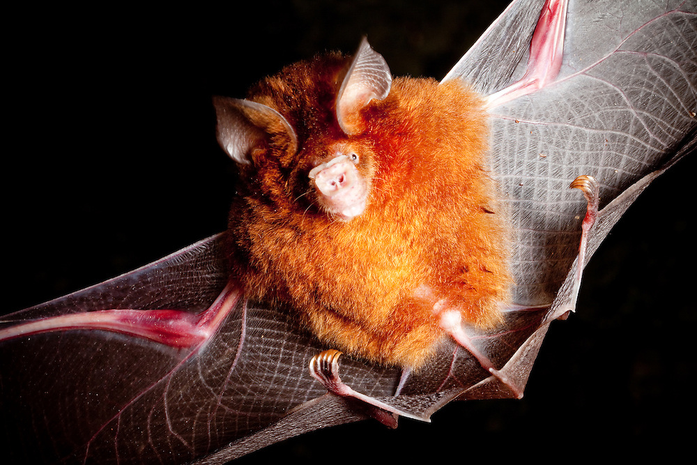 microchiroptera bat