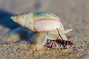 Ploughshare Snail investigating a dead assasin bug washed ashore at low tide, Natures Valley, Western Cape, South Africa