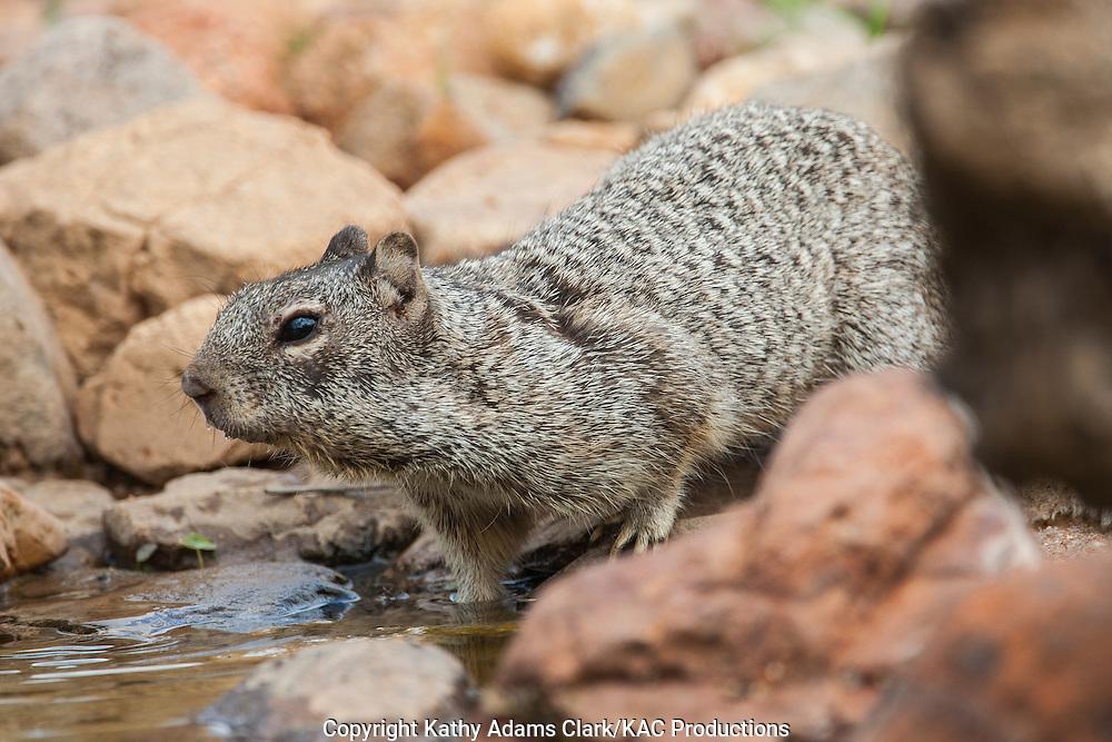 Rock squirrel, Otospermophilus variegatus, in spring; drinking, southern arizona, Spermophilus variegatus
