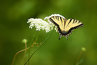 Tiger Swallowtail Butterfly on a Queen Anne's Lace Bloom at the Sourland Mountain Preserve in New Jersey. Image taken with a Nikon D800 and 500 mm f/4 VRII lens (ISO 800, 500 mm, f/5.6, 1/1000 sec).