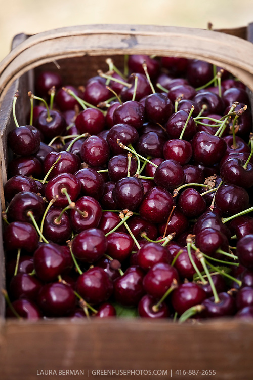 Just harvested sweet cherries in a basket.