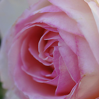 Pink-edged Rose