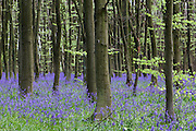 Bluebells in Philipshill Woods, near Chorleywood, Hertfordshire