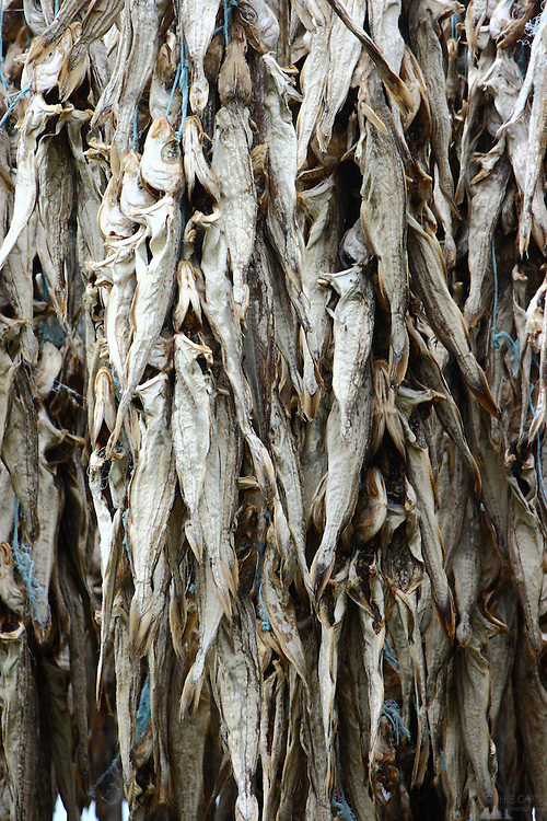Cod hanging up to dry on the island of Heimaey, one of the Westman Islands (Vestmannaeyjar), off the southern coast of Iceland.