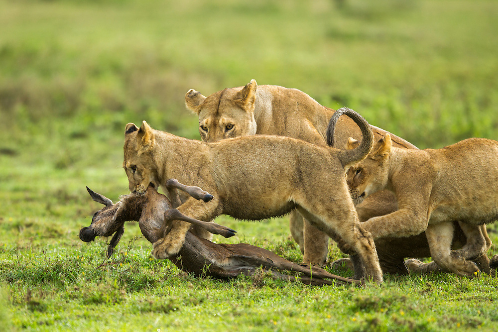 Tanzania, Ngorongoro Conservation Area, Ndutu Plains, Lion Cub (Panthera leo) playing with carcass of Wildebeest (Connochaetes taurinus) calf while pursued by other lions on open savanna