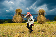 A woman farmer Sri,  gathers the newly harvested rice so it can be processed. Nakhon Nayok, Thailand.