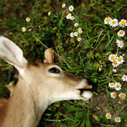 A dead deer lies on the side of the road next to flowers