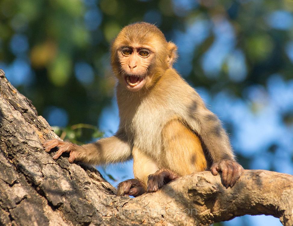 Juvenile Rhesus Macaque (Macaca mulatta), Bardia National Park, Nepal