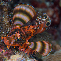 Twinspot Lionfish, Dendrochirus biocellatus, Maumere, Flores, Indonesia.