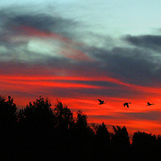 Canadian geese make their way across the sun setting northwest sky.