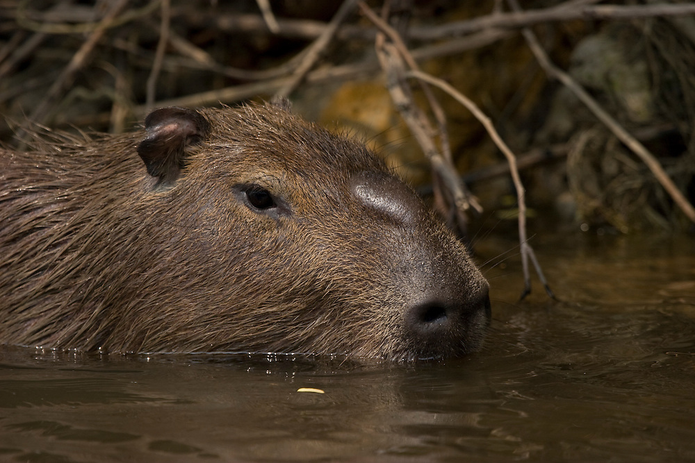 Mato Grosso, Brazil. October 2nd  2007.  Cristalino State Park Capybara (Hydrochaeris hydrochaeris). The Capybara is the World's largest rodent.