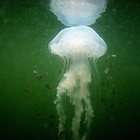 Small fish surround a white sea nettle (jellyfish) in this underwater photograph in Tampa Bay.
