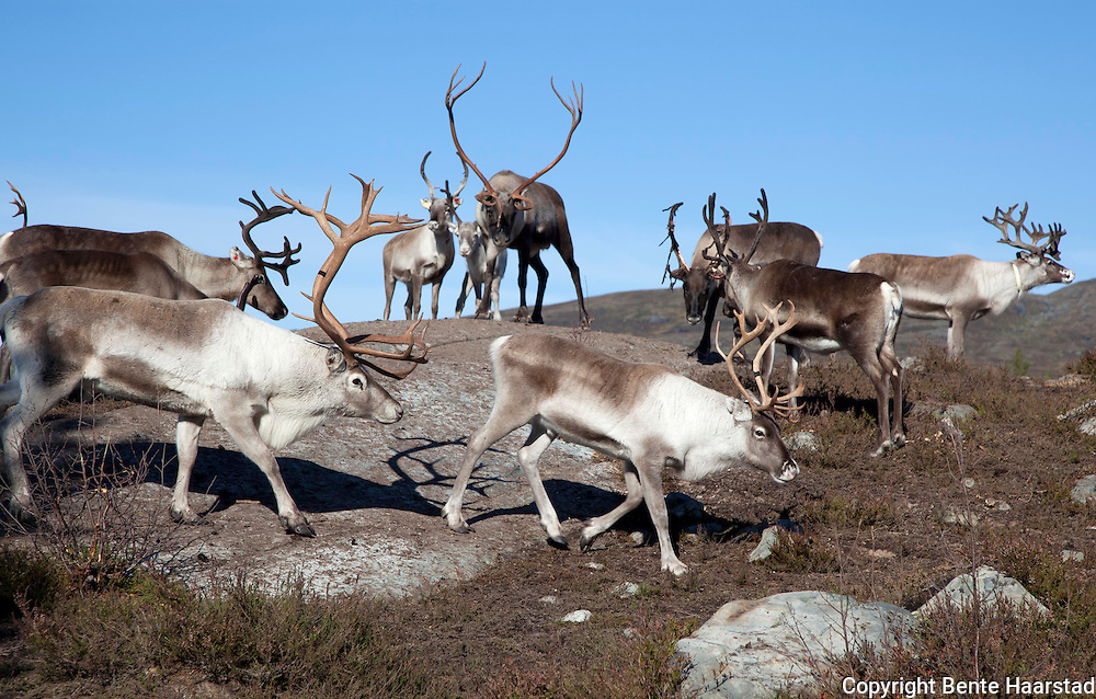 Reindeers at the slaughtering season. Most of them belonging to the sami group of Santi Sijte, some to Feren. The mountains at Teveldalen in Meråker.