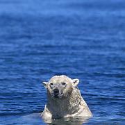 Polar bear (Ursus maritimus) swimming in Wager Bay, Northwest Territories, Canada.