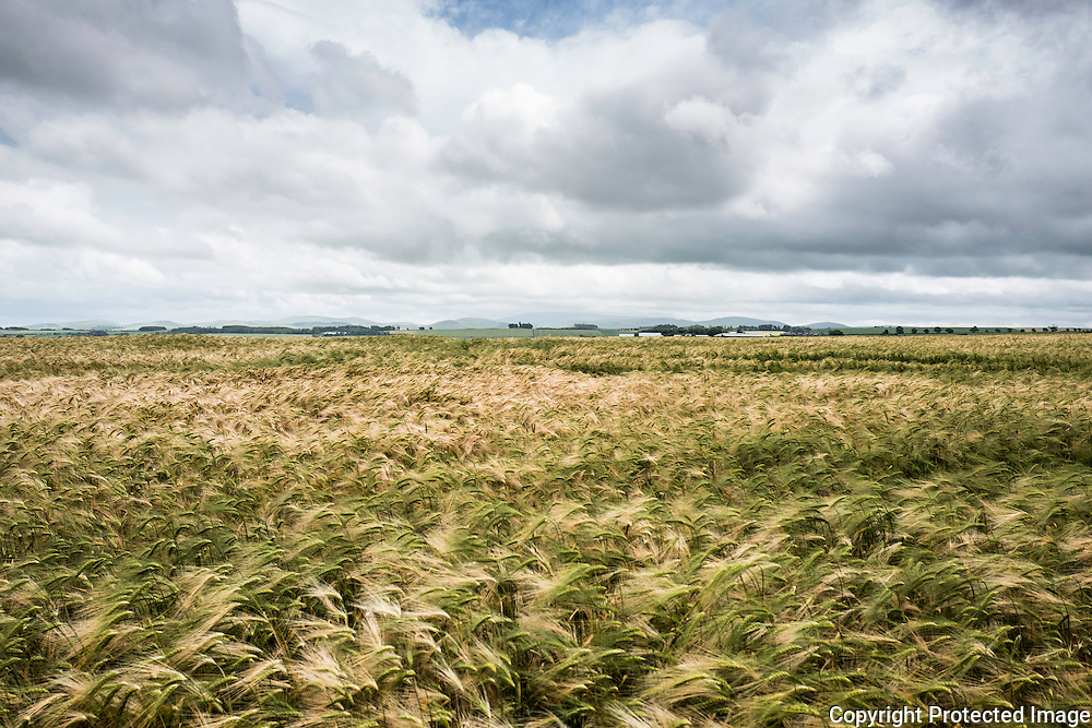 Looking south across a filed of barley from Sprouston near Kelso in the Scottish Borders.