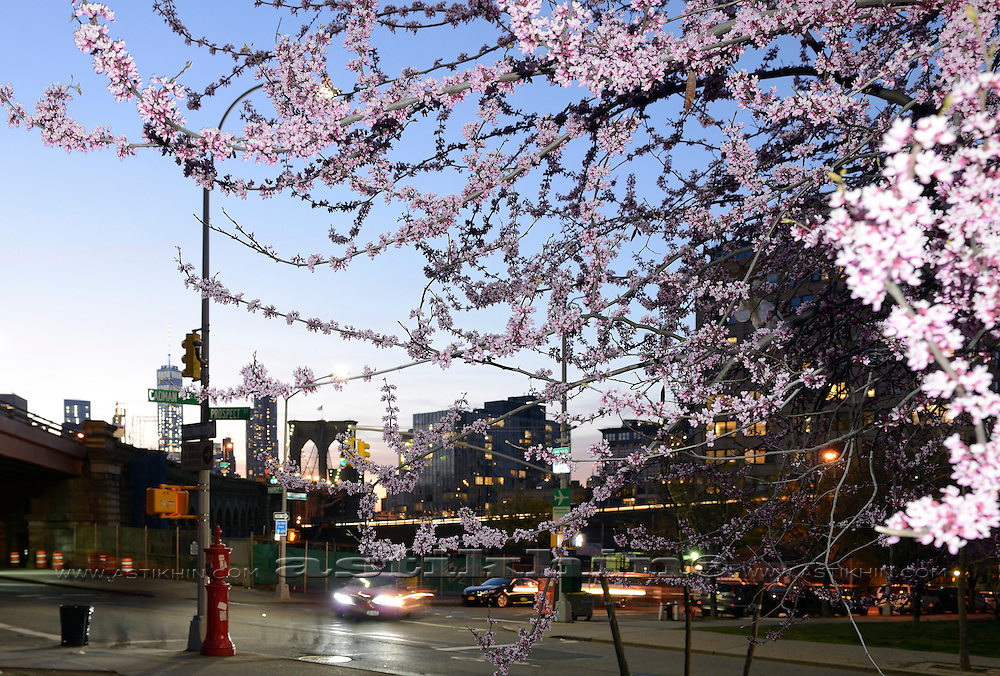 Blossoming cherry tree branches on Brooklyn in New York City.