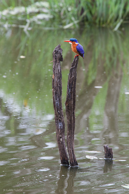 Malachite kingfisher (Alcedo cristata). Skukuza. Kruger National Park. South Africa. Organization for Tropical Studies Trip 2009.