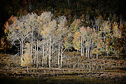 SHOT 10/2/14 8:32:21 AM - A stand of aspen trees changing colors along the Dallas Divide near Ridgway, Co. Aspens are trees of the willow family and comprise a section of the poplar genus, Populus sect. Populus. The Quaking Aspen of North America is known for its leaves turning spectacular tints of red and yellow in the autumn of the year (and usually in the early autumn at the altitudes where it lives). This causes forests of aspen trees to be noted tourist attractions for viewing them in the fall. These aspens are found as far south as the San Bernardino Mountains of Southern California, though they are most famous for growing in Colorado. Autumn leaf color is a phenomenon that affects the normally green leaves of many deciduous trees and shrubs by which they take on, during a few weeks in the autumn months, one or many colors that range from red to yellow. The phenomenon is commonly called fall colors and autumn colors, while the expression fall foliage usually connotes the viewing of a tree or forest whose leaves have undergone the change. In some areas in the United States &quot;leaf peeping&quot; tourism between the beginning of color changes and the onset of leaf fall, or scheduled in hope of coinciding with that period, is a major contribution to economic activity.<br /> (Photo by Marc Piscotty / &copy; 2014)