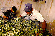Preparing the leaves for the dealing means also a phase of rewetting, and after a pressing for to pack job, work, agricolture