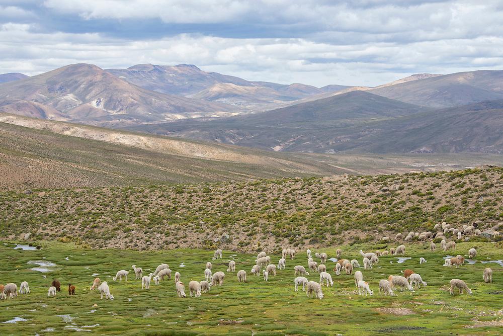 South America,Peru, Altiplano,  alpaca